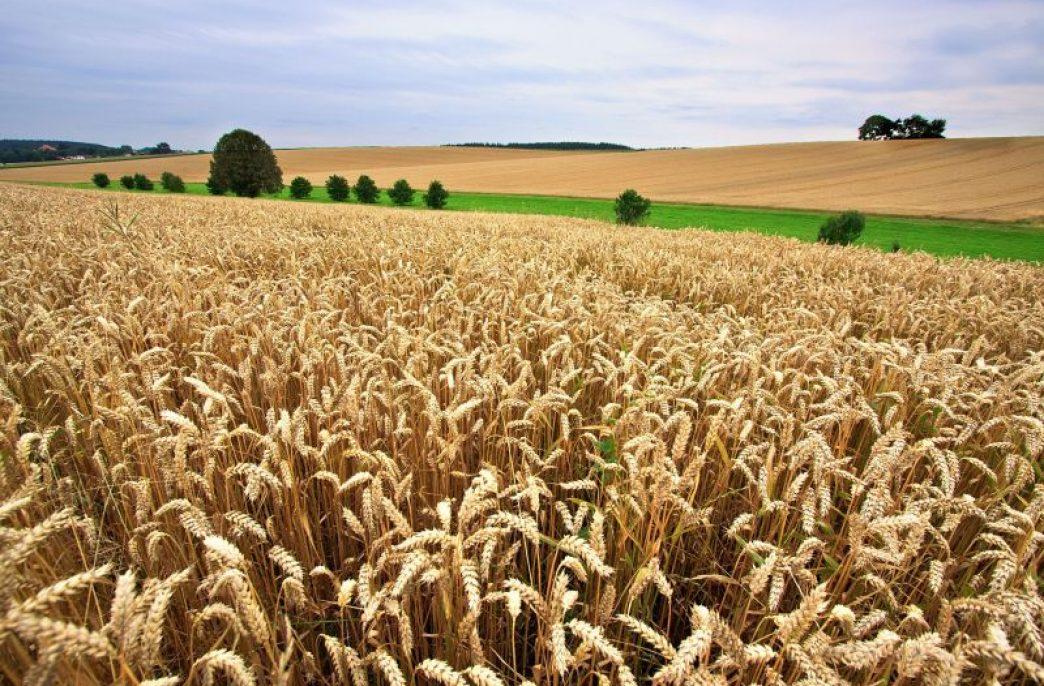 В Великобритании оптимизируют роль азота и серы в зерновых