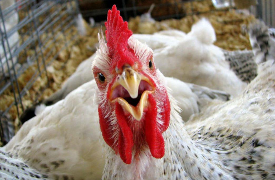 «Юрма» хочет перерабатывать куриный помет на удобрения
