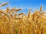 Урожай пшеницы в России может подрасти