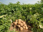 В Сибири раскрыт секрет качественного картофеля