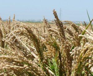 «АФГ Националь» собрала рекордный урожай риса