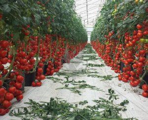 Тепличный бизнес в России продолжит развиваться