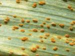 Ржавчина зерновых культур