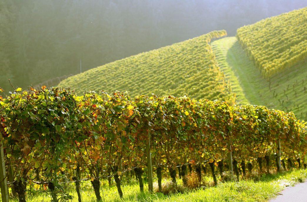 «Гомельхимторг» создал удобрения для винограда