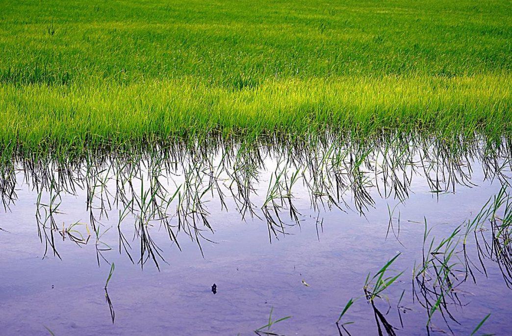 Рисоводы обеспокоены подорожанием воды
