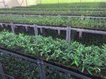 На вертикальных фермах вырастят оливки