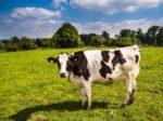 Голландских коров научат пользоваться туалетом