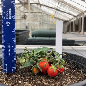 Миниатюрные томаты, созданные в Калифорнийском университете в Риверсайде
