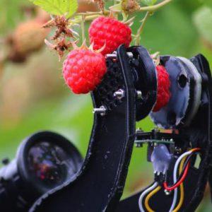 Манипулятор машины осторожно берет малину.