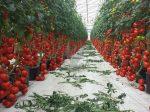 «Овощи Черноземья» расширят тепличный комплекс