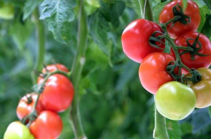 В Испании разработали томатное биоудобрение