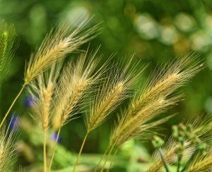 Ученые создадут симбиоз зерновых с микробиотой