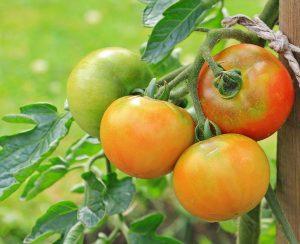 В Испании нашли способ защитить томаты