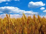 Сбор зерна в России может подрасти