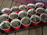 Чем лучше подкормить рассаду для выращивания вкусных томатов