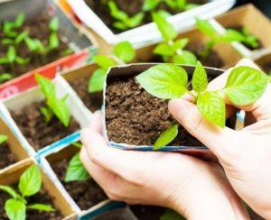 Чем подкормить рассаду для хорошего роста
