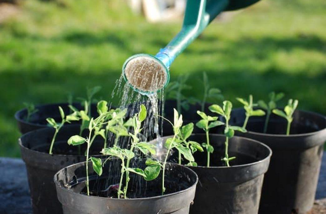 Эффективные методы подкормки рассады томатов и перца