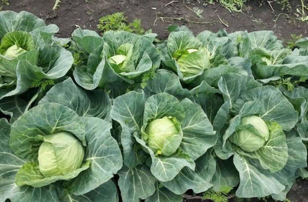Все о подкормке капусты: сроки, виды удобрений, рекомендации