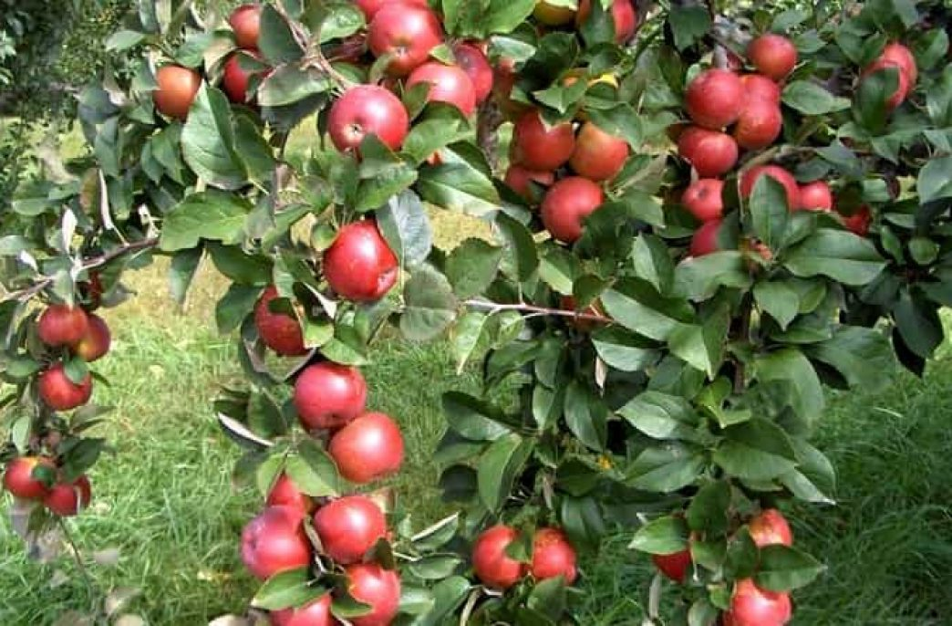 Как проводится подкормка удобрениями яблони весной