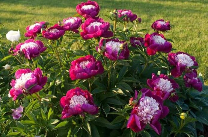 Как проводить подкормку пионов весной