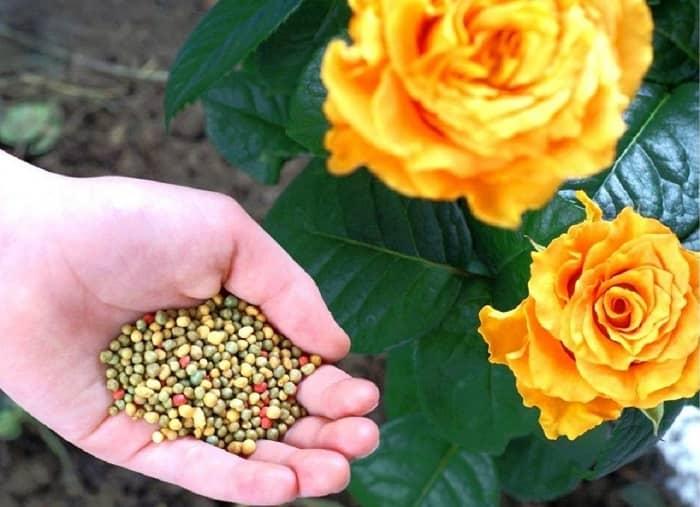 Удобрения для роз осенью и весной, обзор питательных подкормок