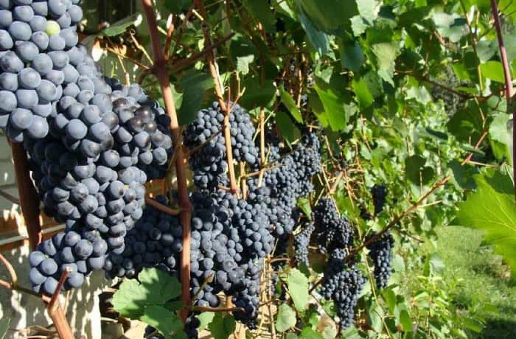 Правильная подкормка винограда с ранней весны и далее
