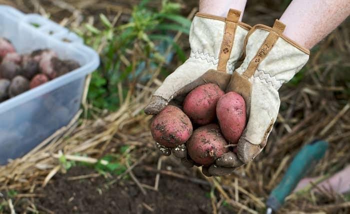Минеральные удобрения для картофеля