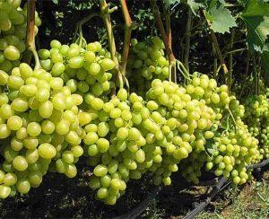Основные нюансы правильной подкормки винограда