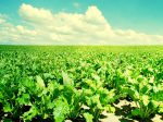 В России сократятся посевы сахарной свеклы
