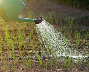Чем подкормить лук для хорошего урожая