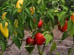Подкормка для перца в теплице: что выбрать с учетом потребности в питании