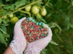 Суперфосфат — удобрение для выращивания вкусных и красивых томатов