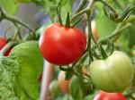 Зачем нужны фосфорно-калийные удобрения для выращивания томатов