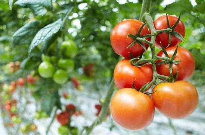 Когда и как используется азотная подкормка для помидор