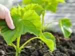 Как и зачем использовать калийные удобрения для огурцов