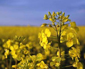 В Томской области планируется рост урожаев рапса