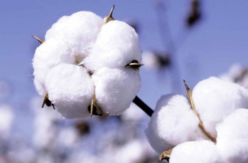 В Азербайджане ожидается рост урожайности хлопчатника