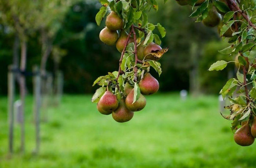 Классификация и виды плодовых деревьев в России