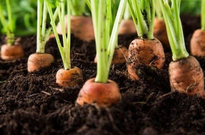Какое удобрение выбрать для моркови при посадке весной