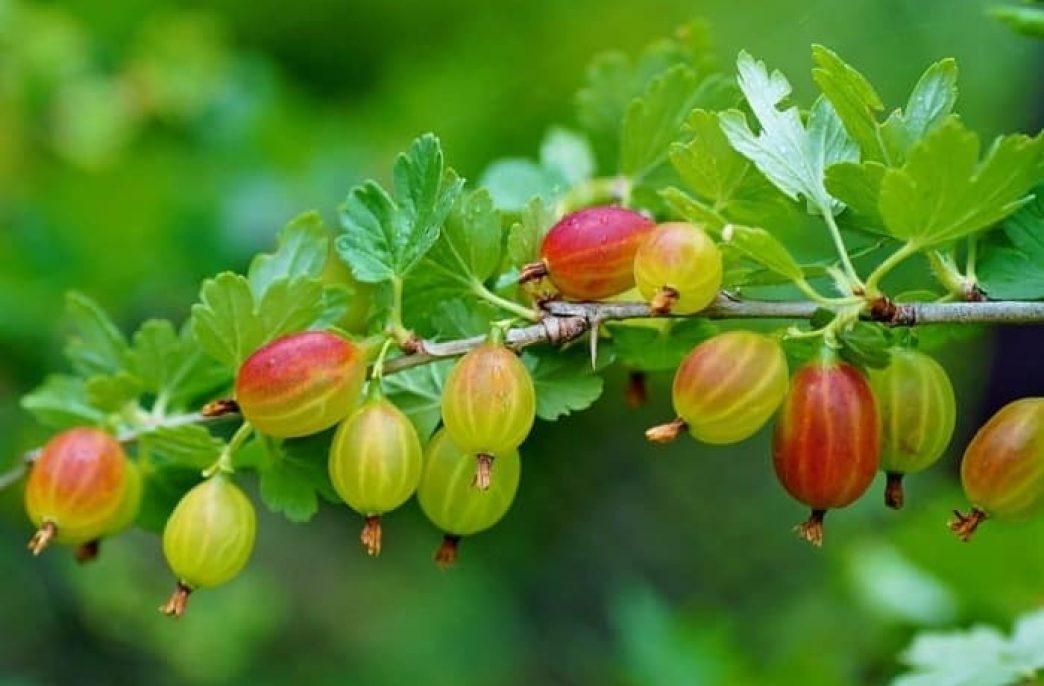 Особенности выращивания крыжовника и смородины