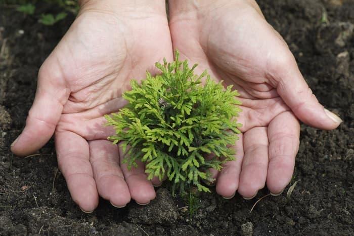 Как ухаживать за хвойными растениями зимой