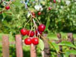 Как проводится подкормка вишни весной и летом