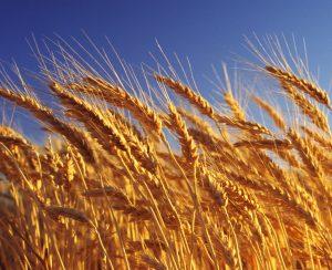 Россия может расширить сбор пшеницы