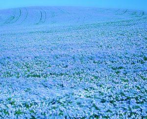 В Центральной России динамично развивается льноводство
