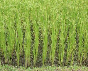 Найден ген урожайности риса