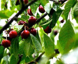 Зачем подкармливать в саду черешню, начиная с весны?