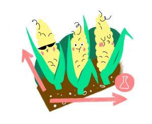 Дифференцированный посев кукурузы: эксперимент по повышению урожайности