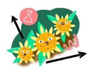 Дифференцированный посев подсолнечника: эксперимент по повышению урожайности