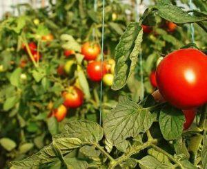 Особенности подкормки помидоров в теплице