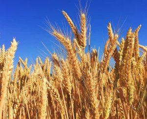 Основные виды российских сельскохозяйственных культур